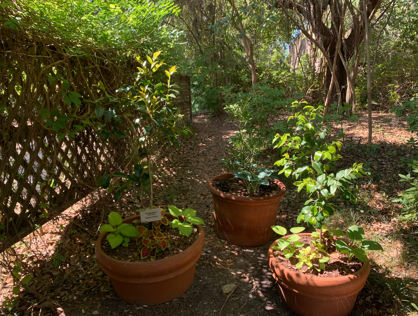 Three orange ceramic pots, holding 5 plants each, sit beside a fence. There are four small plants and one tall tree per pot.