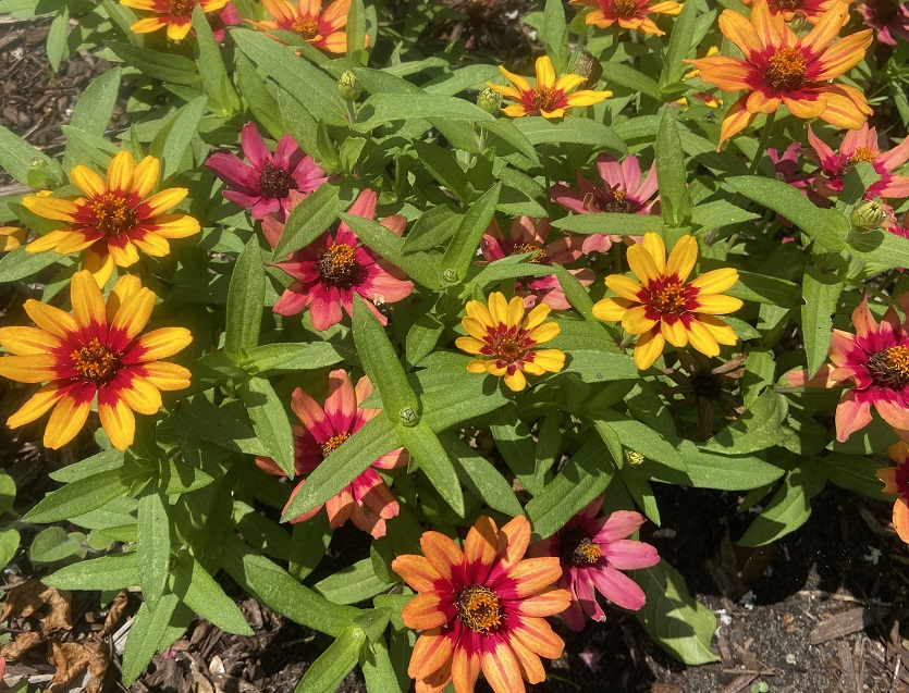 Zinnia 'Profusion Red Yellow Bicolor' flowers