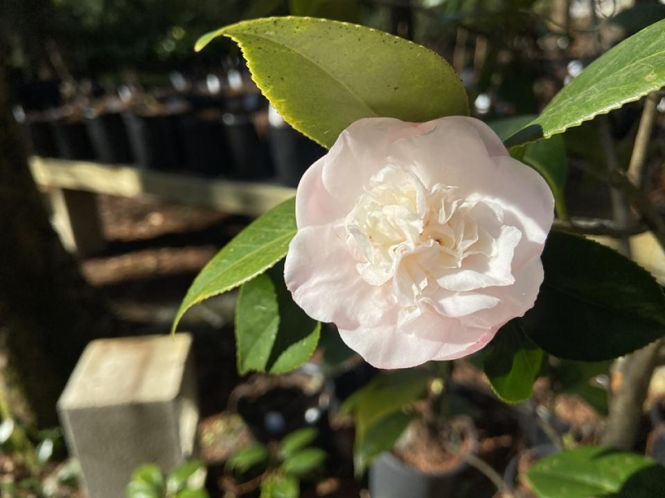Camellia japonica 'Mini Pink' flower
